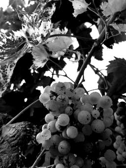 uva-bianca-blackwhite